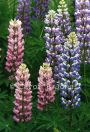 #220 Lupins