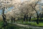 High Park Blossoming Japanese Cherry Trees